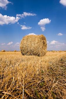 Pilha de palha no campo em uma pilha de palha torcida permanece no campo após a colheita do cereal