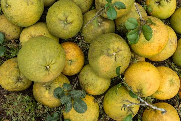 Pilha de pomeloes frescos no jardim do pomelo.