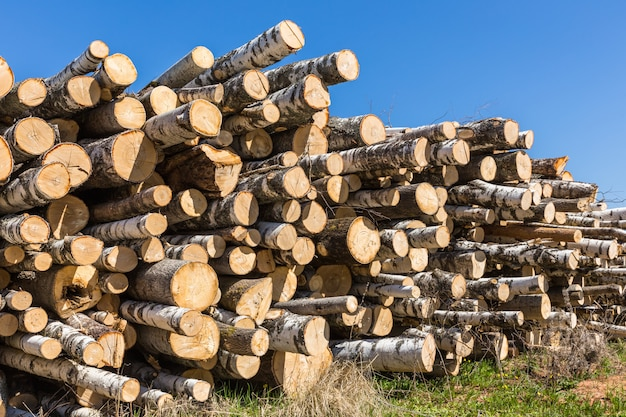 Pilha de toras de árvore de vidoeiro branco