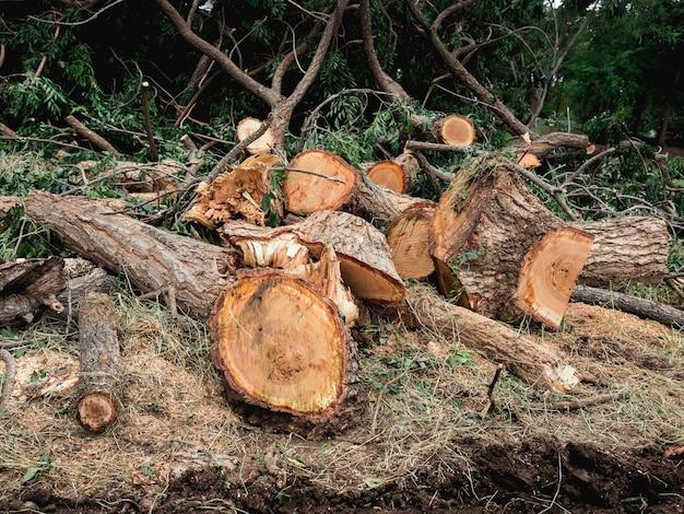 Pilhas de muitas toras de árvores cortadas por uma serra elétrica no chão na floresta verde.