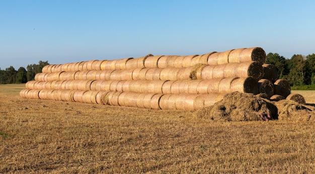 Pilhas torcidas de palha após a colheita da cevada no verão, paisagem