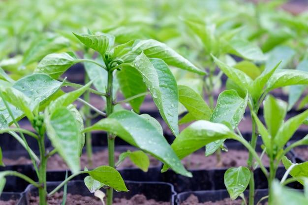 Pimenta mudas crescendo em estufa, close-up