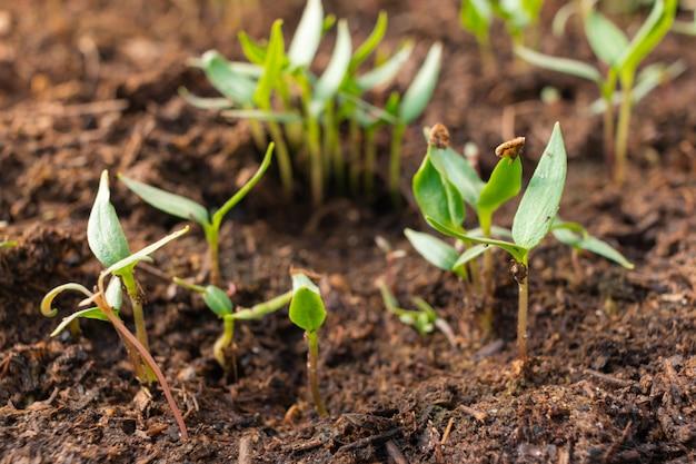 Pimenta mudas no chão, estufa. pequenas mudas cultivadas a partir de sementes. agricultura, agronegócio, consumo ambiental, vegan, horticultura, ecológico orgânico, eco, conceito de meio ambiente