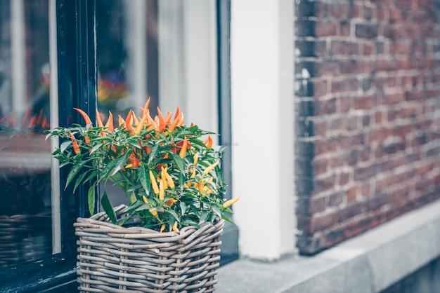 Pimenta vermelha picante em uma panela cresce ao ar livre