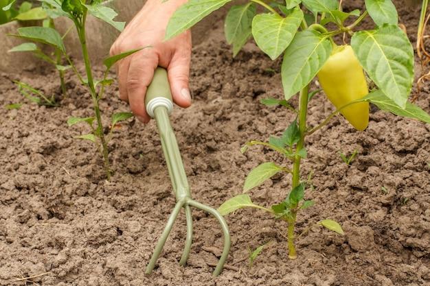 Pimentão verde crescendo em arbusto no jardim. mão masculina com rake behinde búlgaro ou planta de pimentão e solo no fundo.