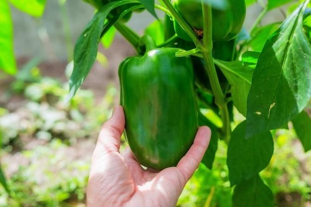 . pimentão verde em um canteiro de jardim em uma estufa. cultivo agrícola de vegetais.