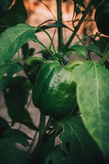 Pimentão verde no jardim