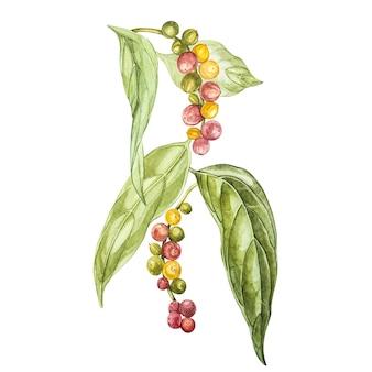Pimentas pretas mão desenhada ilustração aquarela. desenho botânico feito à mão com lápis aquarela.