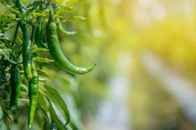 Pimentas verdes que crescem em plantações asiáticas