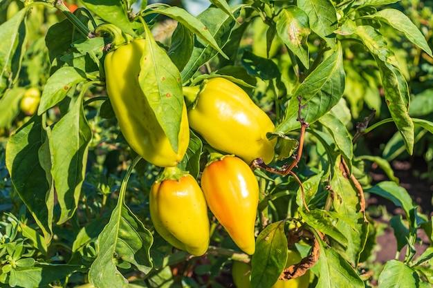 Pimentões maduros e verdes com gotas de água crescendo em arbustos no jardim. planta búlgara ou de pimenta doce.