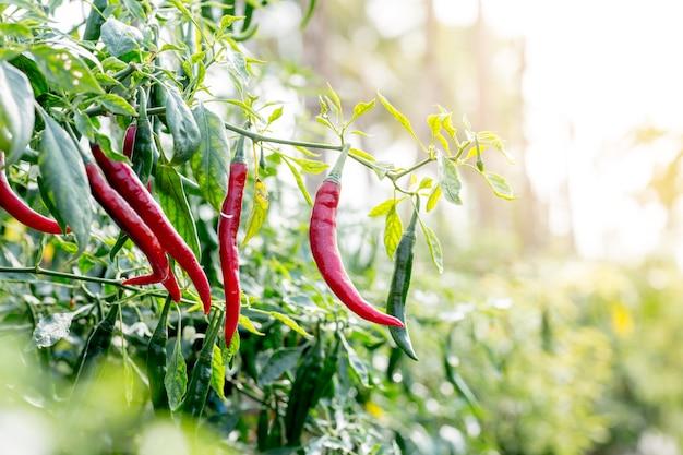 Pimentões vermelhos que crescem em plantações asiáticas foto premium