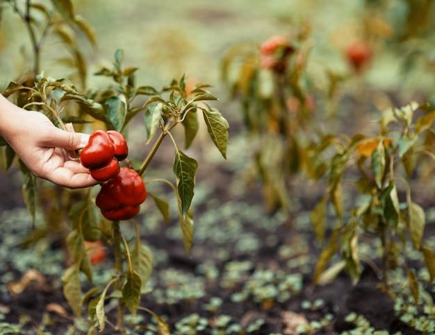 Pimentos vermelhos na mão