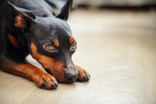Pincher anão encontra-se no chão e parece olhos tristes