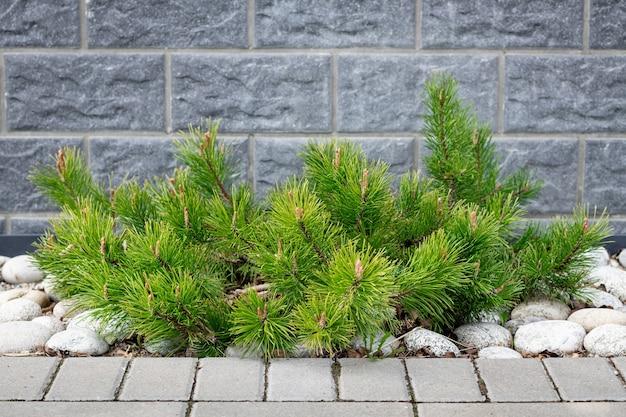 Pine pinus mugo mughus em paisagismo