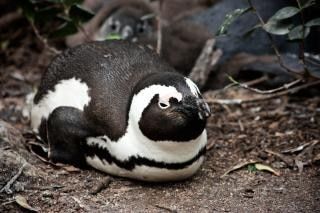 Pinguim africano do habitat