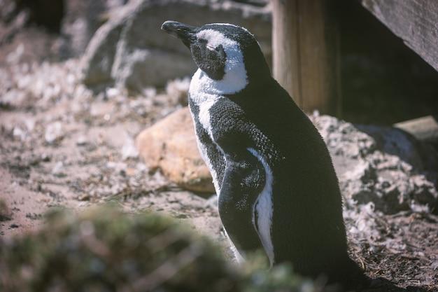 Pinguim-africano na colônia de pingüins na baía de betty, áfrica do sul