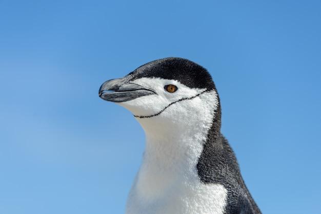 Pinguim chinstrap na praia na antártica close-up