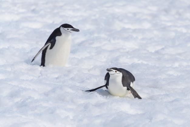 Pinguim chinstrap rastejando na neve
