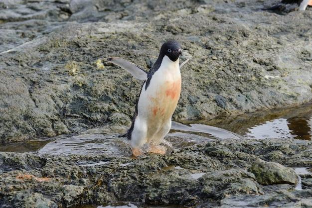 Pinguim de adélia em pé na praia na antártica