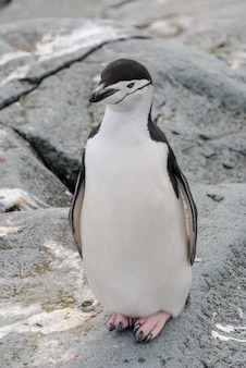 Pinguim-de-chinstrap na neve na antártica
