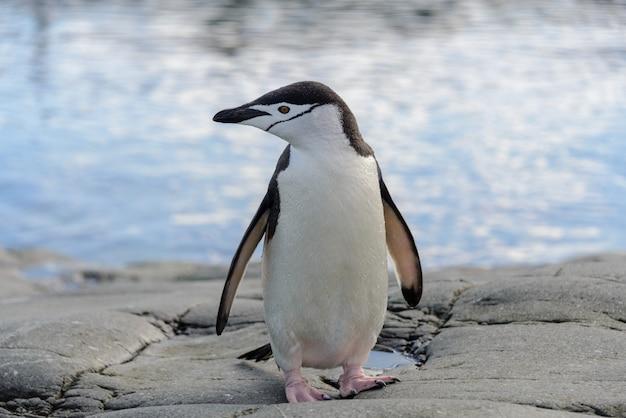 Pinguim de chinstrap na rocha close-up