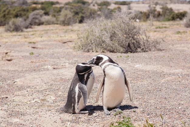 Pinguim de magalhães close-up. colônia de pinguins punta tombo, patagônia, argentina