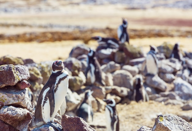 Pinguim de magalhães (spheniscus magellanicus) na patagônia