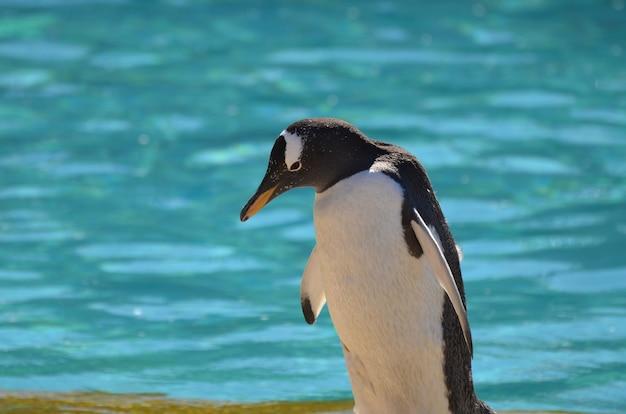 Pinguim gentoo fofo com água em pé atrás dele.