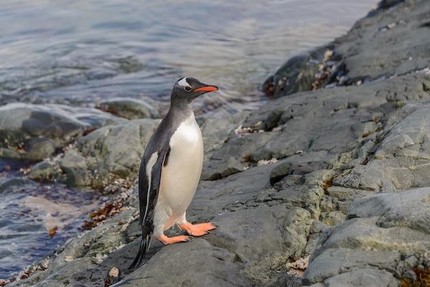 Pinguim-gentoo na água
