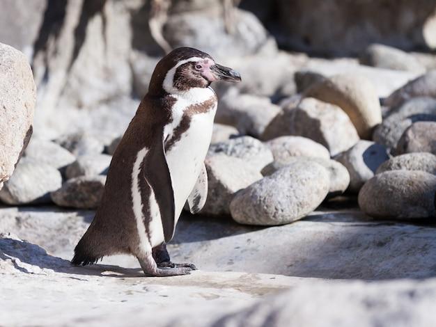 Pinguim humboldt em pedras