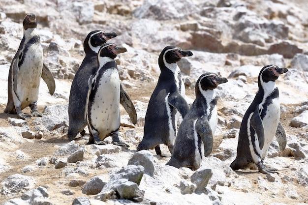 Pinguim humboldt