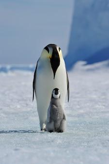 Pinguim-imperador com pintinho