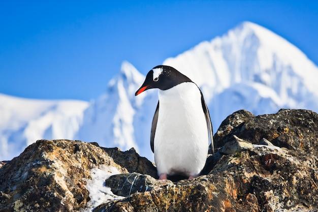 Pinguim nas rochas