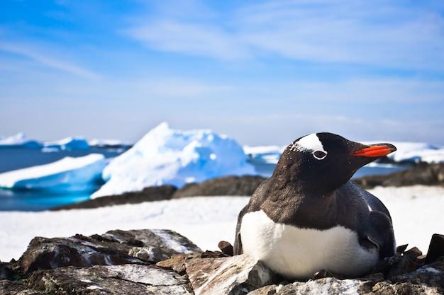 Pinguim preto e branco