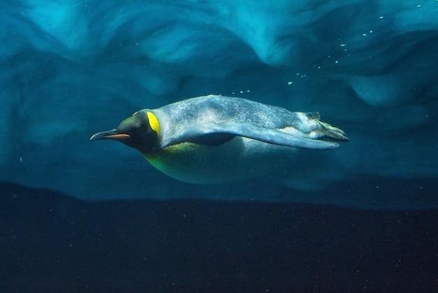 Pinguim que mergulha debaixo d'água, vista subaquática.