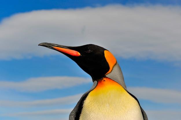 Pinguim-rei na geórgia do sul