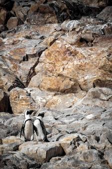 Pinguins africanos em uma área pedregosa na áfrica do sul