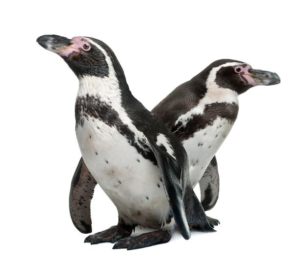 Pinguins de humboldt, spheniscus humboldti, em pé