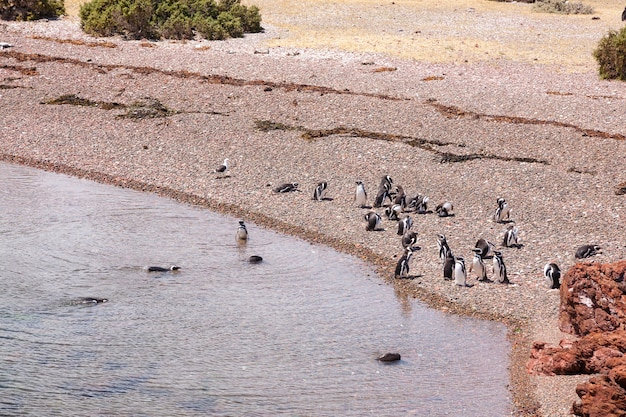 Pinguins de magalhães. colônia de pinguins punta tombo, patagônia, argentina