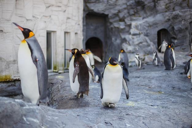 Pinguins de rei no jardim zoológico de asahiyama, asahikawa, hokkaido, japão.