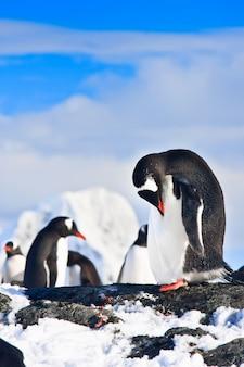Pinguins em uma rocha