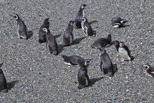 Pinguins na ilha do canal de beagle fecham a cidade de ushuaia, na terra do fogo, argentina