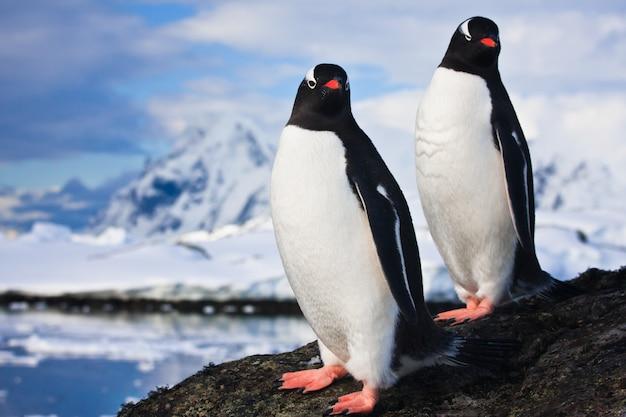 Pinguins sonhando em uma rocha