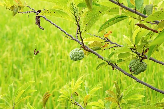 Pinha em uma árvore