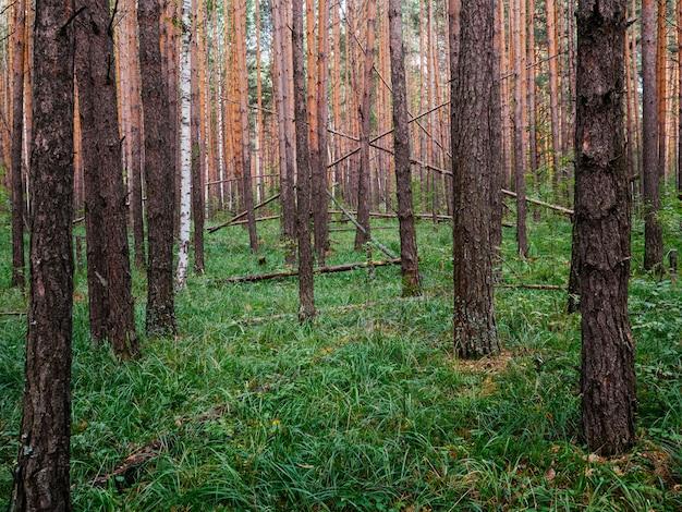Pinhal denso. árvores marrons e grama verde