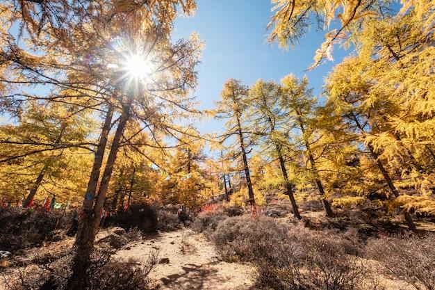 Pinhal dourado com luz solar no parque nacional