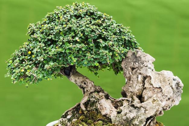 Pinheiro bonsai contra uma parede branca