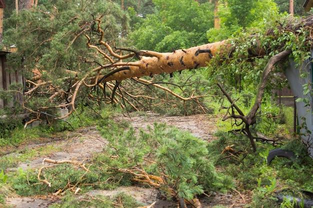 Pinheiro caído depois de um tornado.