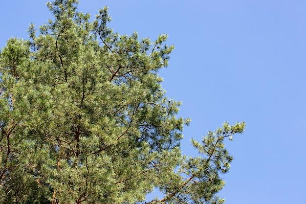 Pinheiro contra um céu azul claro em um dia ensolarado. visão de baixo ângulo. a conífera é iluminada pela luz solar. dia quente de sol em uma floresta de pinheiros.