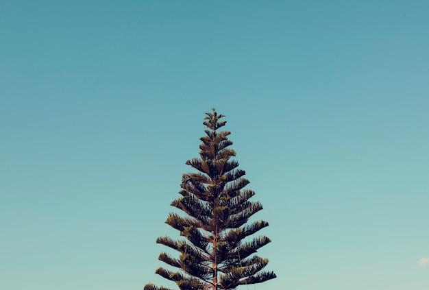 Pinheiro da ilha norfolk com vista para o céu